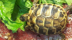Hermann's tortoise babies for sale