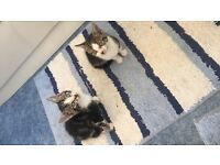 9 week old Kittens ready for there forever home!