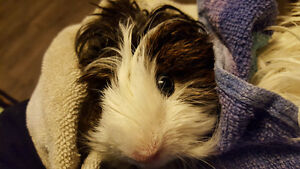 Beautiful Peruvian Male Guinea pig
