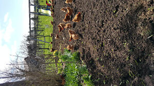 Free range laying hens