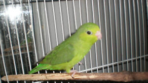 ❤️⭐Green Parrotlet⭐with Cage❤️⭐❤️