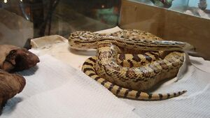 Sonoran Gopher adulte
