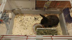Large Rabbit for rehoming