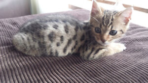 Bengal male kitten