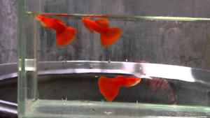 Écrevisses  naine guppy de race ancistrus longfin
