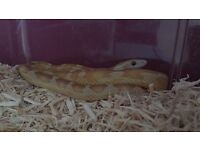 1yr old female motley gold dust corn snake