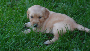 Golden Retriever Pups! Pure Bred, Registered with CKC
