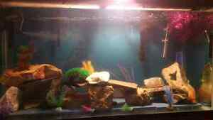 100 Gallon fish tank with over 40 african cichlids + Stand Kitchener / Waterloo Kitchener Area image 2