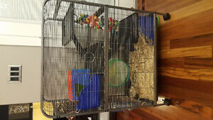 2 Male Rats with cage and accessories