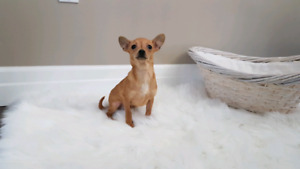 Chihuahua puppies only 1 male left.