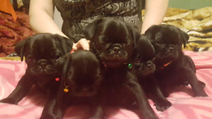 Pure breed  black pug puppies for sale!