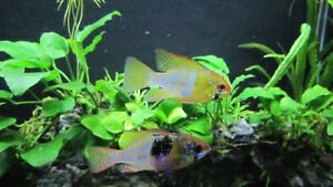 Freshwater aquarium fish/poissons