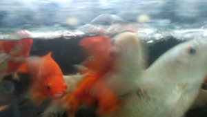 Koi fish,  large gold fish and 135 gallon tank with stand