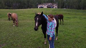 APHA Horse
