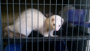 Three Bonded Ferrets with cage