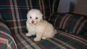 Poodle Cross Puppies