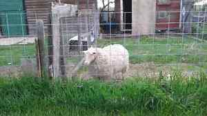 One year old Sheep