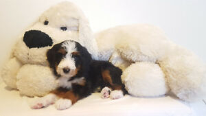 TUXEDO BERNEDOODLE PUPPIES FOR SALE