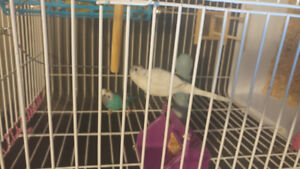 2 budgie birds plus cage, toys, trrats and food