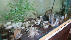 SHELL DWELLING  African Cichlids 2 for one