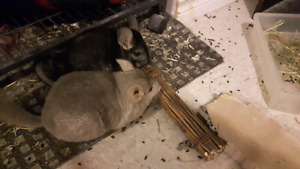 Two chinchillas with all supplies