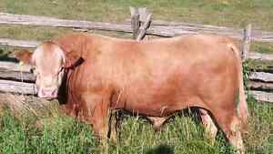 Calving Ease Polled Yearling Bull FOR SALE!