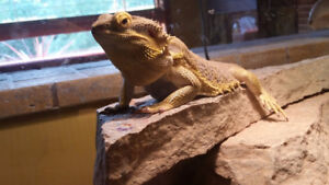 9 Yr Old Bearded Dragon looking for a new home.