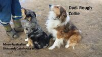 Rough Collie, Australian Shepard/Catahoula cross Puppy