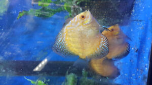 "Discus 3"" -4""size for sale!!!!!"