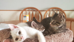 2 Cute Males Kittens looking for a good home.