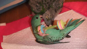 ❤★❤ Hand Tamed baby LINNIES With CAGE❤★❤