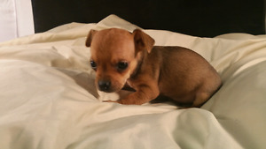 CHIHUAHUA PUPS, GORGEOUS TEACUPS , READY NOW