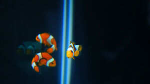 Many pairs of clown fish forsale
