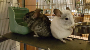 2  Young Chinchillas