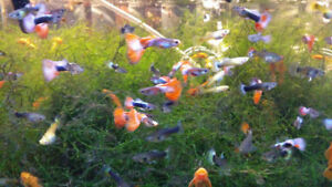 Blue and Red Delta Guppies