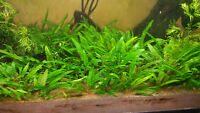 50 Cryptocoryne wendtii 'Green' aquarium plants