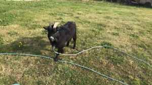 Goats forsale