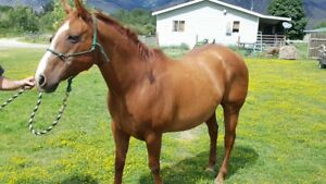 Handsome QH Gelding