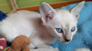 Chatons Siamois Lynx & Blue   Pure Siamese Kittens