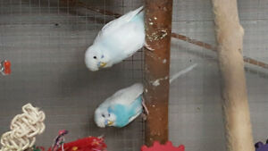 Young budgies for rehoming