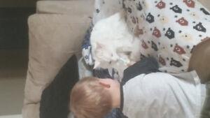 Lost white cat