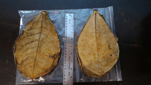 Large Indian Almond Leaves for aquarium shrimp and fish fry
