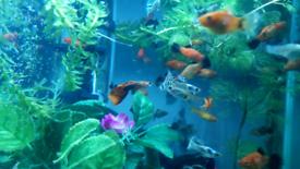 Guppy,platy,molly,betta,shrimp,pleco,snail,pacu,mida/kribesis cichlid
