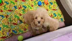 Miny Cockapoo puppies 3 males