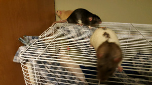 2 cages (3 female rats and 3 male rats)