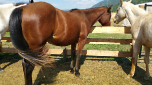 2 QH 2 YEAR OLD COLTS