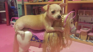 Tree little chihuahuas looking for home