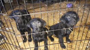 Black lab puppies *PRICE DROP*