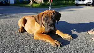 Did you or someone you know get a boerboel from cavan creek?