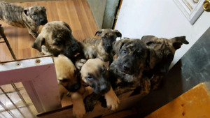 Pure breed, Presa Canario Puppies available now
